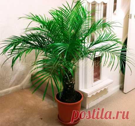 Домашние пальмы: фото разновидностей и названия видов, а так же полезные видео и советы по уходу