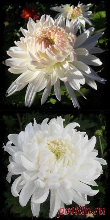 Хризантема: как вырастить шикарные цветы.