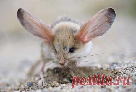 Длинноухий тушканчик — самое ушастое существо на Земле. Именно благодаря своим ушам-локаторам он слышит шум крыльев порхающей бабочки на расстоянии до пяти метров!