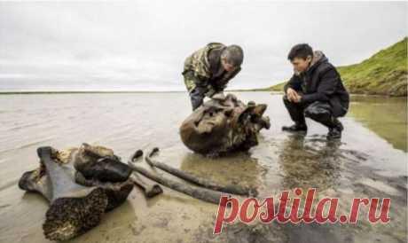 На Ямале откопали останки мамонта . Тут забавно !!!