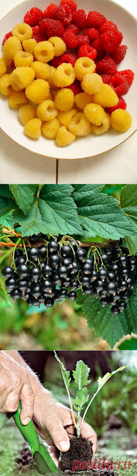 Двойная обрезка малины по Соболеву — гарантия отличного урожая!