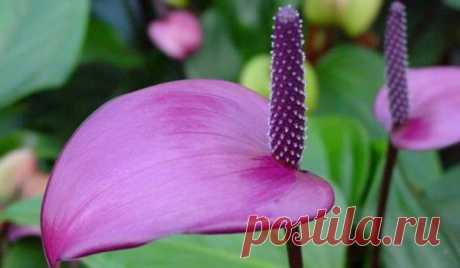 Правила ухода за комнатным цветком «Антуриумом»