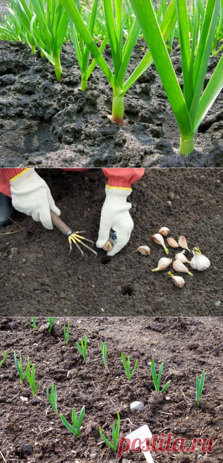 Озимый и яровой чеснок – секреты выращивания и ухода