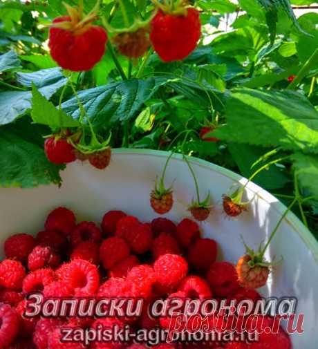 Посадка малины в разные времена года • zapiski-agronoma.ru