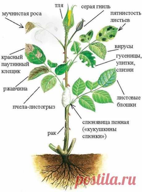 12 причин угнетающие розу. Болезни и вредители роз