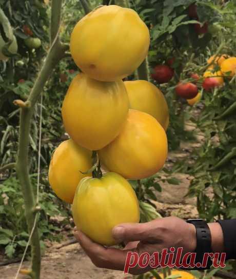Сочные и мясистые: топ томатов с незабываемой мякотью   Дачные советы. Семена Алтая   Яндекс Дзен