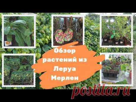 Обзор растений из Леруа Мерлен (продолжение) - YouTube