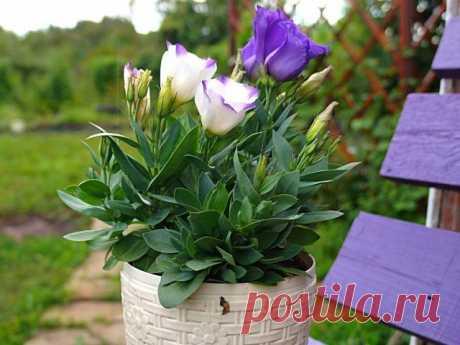 7 однолетних цветов, которые я советую посадить в феврале. Особенности выращивания рассады, сорта. Фото — Ботаничка.ru