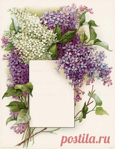 """Vintage Lilac Bouquet Printable Art White Lilacs Purple Lilacs Frame a Blank Label Beautiful Floral Illustration Digital Download JPG Image This vintage printable floral illustration features a beautiful bouquet of white lilacs and purple lilacs framing a blank label where you can add text (a menu perhaps) or photo of your choice. One 8.5"""" x 11"""" digital image. High resolution 300 dpi JPG format to ensure high print"""