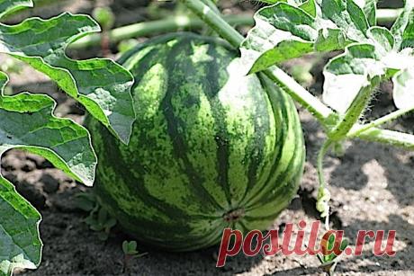 5 хитростей, которые помогут вырастить арбузы и дыни даже в суровых условиях!