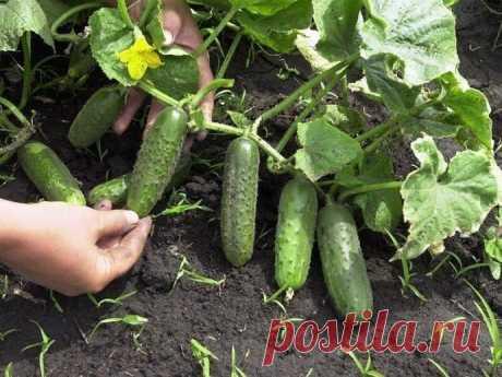 Огурчики на хлебушке. Простой и доступный СЕКРЕТ выращивания большого урожая ОГУРЦОВ.