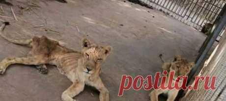 Содержание в зоопарке Хартума обернулось для животных полным кошмаром. Хуже всего пришлось африканским львам. Рассказываем тяжелую, но важную историю из столицы Судана.