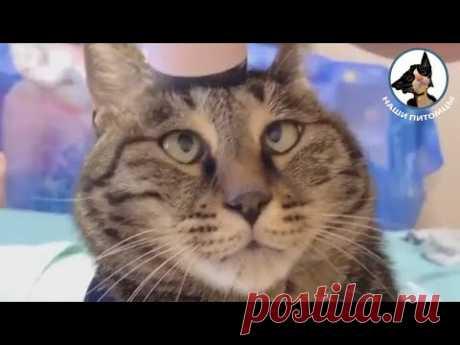 Забавные коты и кошки 😱👍😀 Наглая кошка Кот балдеет 😱