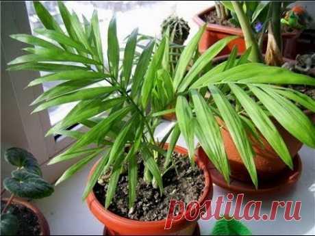 ХАМЕДОРЕЯ или НЕАНТА | Неприхотливая популярная пальма | Уход в домашних условиях