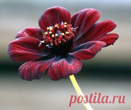 Шоколадная космея — цветок с запахом шоколада Шоколадная космея(латинское название Cosmos atrosanguineus)  пожалуй, одно из самых удивительных цветущих растений Латинской Америки. Ареал его распространения довольно велик, этот цветок можно встретить на юге США, в Центральной Америке и на севере Южной Америки, но все-таки…