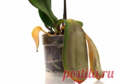 The reasons of emergence of sticky spots on leaves of orchids Often flower growers face emergence of sticky spots on leaves of orchids.