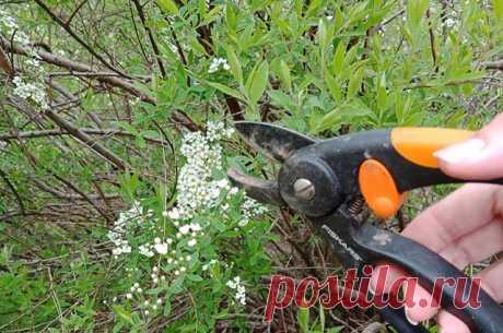 Время черенковать. Увеличиваем популяцию декоративных кустарников в саду В начале лета настала пора приступить к черенкованию. Можно увеличить посадки собственных цветущих растений, а можно и преподнести в подарок соседям понравившиеся им виды.