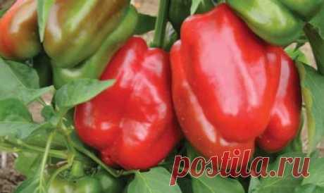 Перец Красное чудо: описание сорта, отзывы, фото | ProPerez.ru