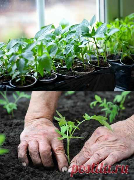 When to plant vegetables on seedling - calculation of terms for a formula