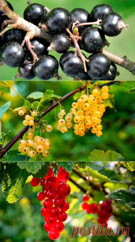 Почему мельчают ягоды смородины