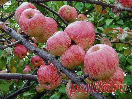Как правильно ухаживать за яблонями, чтобы сохранить и увеличить урожай яблок. Затяжная холодно-дождливая весна, традиционные уже заморозки сделали свое черное дело - яблок завязалось негусто. Хуже всего то, что этот жиденький урожай легко потерять. Но можно и наоборот - увеличить. Поддерживающая терапия В первую очередь надо «запустить корни» и кору яблонек. Все это сделать до примитивного просто. «Разогреваем кору» бороздованием. Прорезаем кору на ветвях и стволе вдоль д...