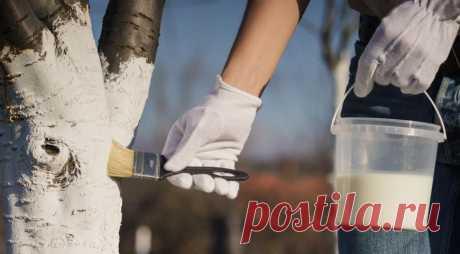 Белить стволы, замазывать раны варом, перекапывать почву: надо ли все это делать? на Supersadovnik.ru