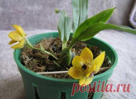 Описание и разновидности компактной орхидеи Променея