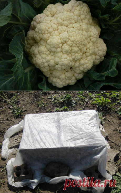 Выращивание цветной капусты - рассада, пикировка, полезные свойства