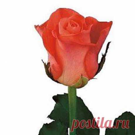 Wow - Розы оранжевые - Розы