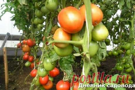 """5 сортов томатов для ленивых""""(ч.2)""""   Блоги о даче и огороде, рецептах, красоте и правильном питании, рыбалке, ремонте и интерьере"""
