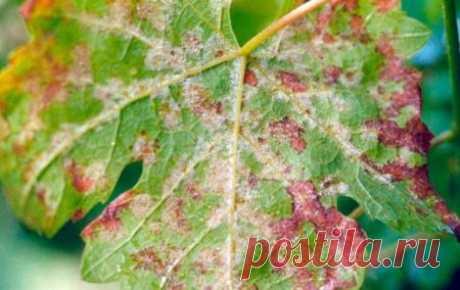 Обработка винограда от вредителей и болезней и насекомых: препараты и народные методы обработки