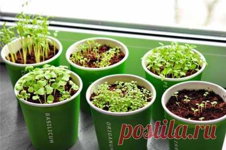 Выращиваем отличную зелень на подоконнике в любое время года