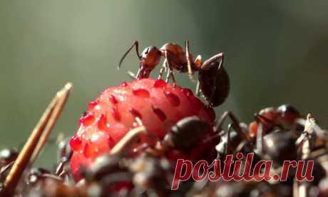 Как бороться с муравьями и тлей на клубнике   Pentad