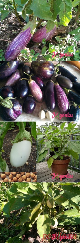 Руководство по выращиванию баклажан