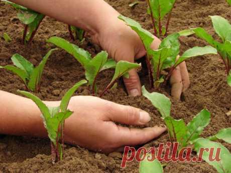 6 шагов до небывалого урожая свеклы   Если вы из года в год пытаетесь вырастить большой урожай свеклы, но все по-прежнему остается без изменений, возможно, вы что-то упускаете. Чтобы узнать наверняка, прочитайте эффективные рекомендации…