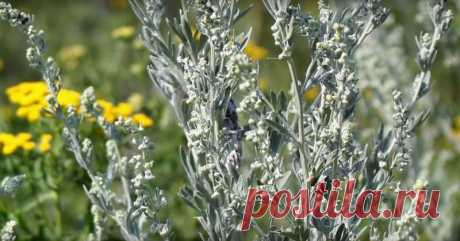 «Растение, убивающее рак с метастазами!» Оно всегда было под ногами. - Советы и Рецепты