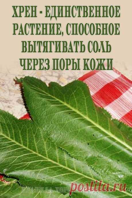 Хрен — единственное растение, способное вытягивать соль через поры кожи
