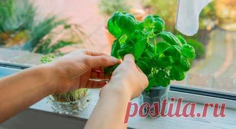 Зелень, которую легко вырастить на подоконнике / Домоседы