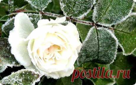 Подготовка розы к зиме в саду и на даче – главные правила ухода за кустами Перед наступлением осенних дней перед цветоводами возникает вопрос, как подготовить розы к зиме на даче. Всем хочется, чтобы цветок не пострадал от