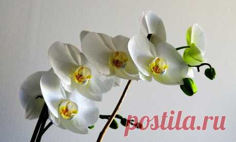 Домашнє добриво, від якого ваші орхідеї будуть пишно цвісти Привіт шановний читачу, ми раді бачити Вас на нашому сайті Вакурат. У цій статті поговоримо про домашнє добриво для ваших орхідей.    Всі хто любить орхідеї та мають їх вдома хоча б декілька знають, щоце дуже примхлива квітка, яка вимагає до себе багато уваги.Ми пропонуємо вам підгодівлю власного