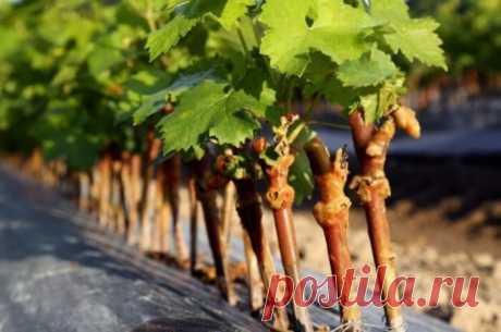 Как размножить виноград черенками осенью