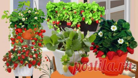 Как вырастить клубнику дома на подоконнике в течение круглого года?   6 соток