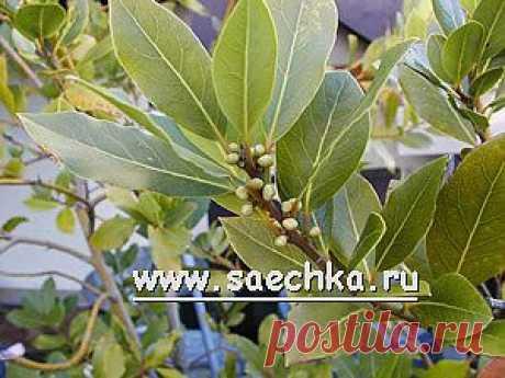 Лавровый лист | Saechka.Ru - рецепты с фото