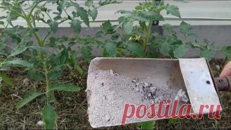 Фитофтора на помидорах: как бороться народными средствами?