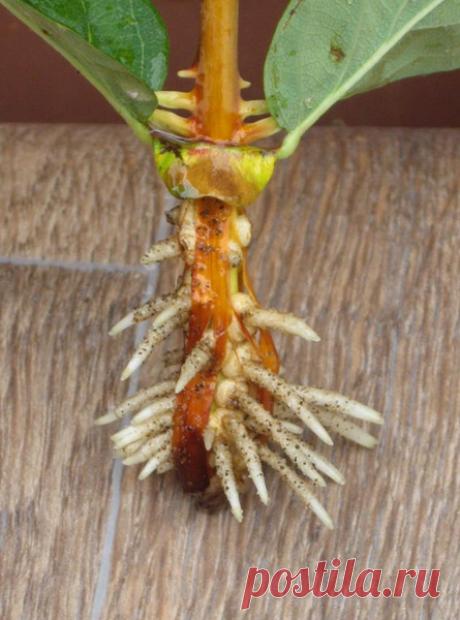 2 легких способа размножения смородины, крыжовника и жимолости | Мой огородик | Яндекс Дзен