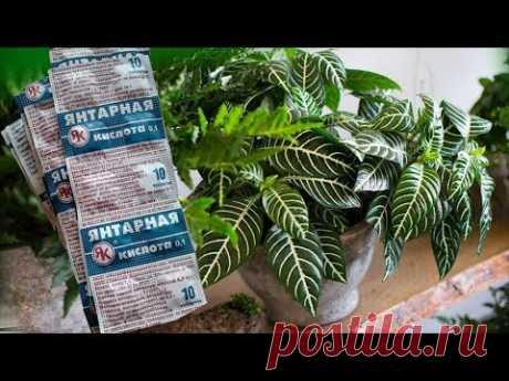 ЯНТАРНАЯ КИСЛОТА - скорая помощь для комнатных растений. Это важно знать!Это важно знать! - YouTube