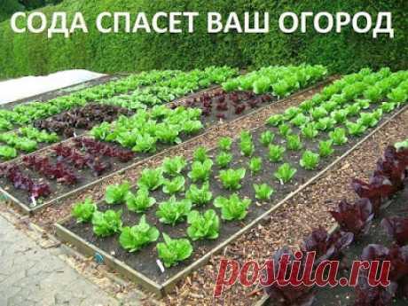 Полезные советы: Сода спасёт ваш огород.