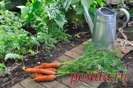 Уборка моркови | Сроки уборки урожая моркови | В огороде | Яндекс Дзен