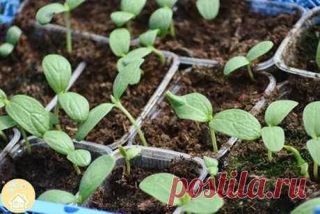 Выращивание дыни рассадой.  В начале мая семена дыни высевают в отдельные емкости. Переносят в поле в начале июня. Стандартная рассада (25-30 дневная) имеет 3-5 листьев. Открытый грунт лучше подготовить по гребневому типу и готовую рассаду высаживать на гребнях. Горшочки (торфяные, бумажные или другие) наполняют легкой смесью грунтов. Смесь увлажняют и высевают по 2-3 семечка дыни. Горшочки размещают на общем поддоне при +20..+22°С. После всходов оставляют в горшке самый с...