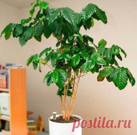 Кофейное дерево: уход в домашних условиях, пересадка и размножение